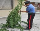 Niscemi: coltivava marijuana in grande, arrestato