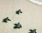 Tonnarella: nate tartarughe caretta caretta