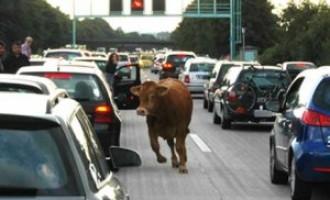 "Mucche ""cadono"" in autostrada"