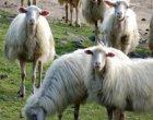 Partanna-problema randagismo: branco di cani fa strage di pecore