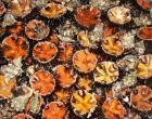 Marsala: ricci sequestrati e multe salatissime