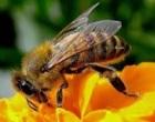 Agrigento: muore per puntura di un'ape