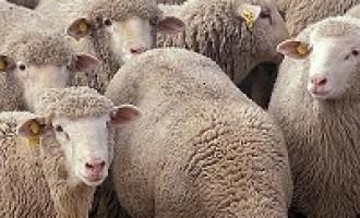 Partanna- Fiera del Bestiame: vietato l'ingresso ad Ovini, Bovini e Caprini per il giorno 13 Ottobre