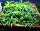 Carini (Pa): scoperta piantagione di droga, arrestato un uomo