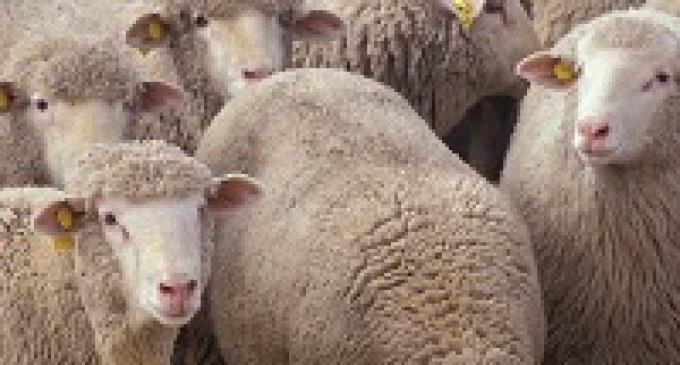 """Trapani: allarme """"Bluetongue"""" in diversi allevamenti di ovini"""