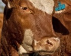 Santa Ninfa: giunta comunale adotta provvedimento sulla zootecnia