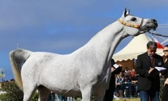 Trapani: 5 e 6 aprile si svolgerà l'Arabian Horses Cup – V Show Internazionale Cat. C