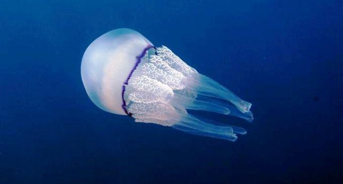 In arrivo nel Mediterraneo miliardi di meduse, soprattutto nelle spiagge palermitane