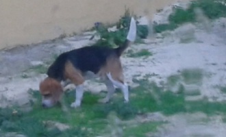 Partanna: ritrovato beagle smarrito, un altro segnalato in zona Camarro