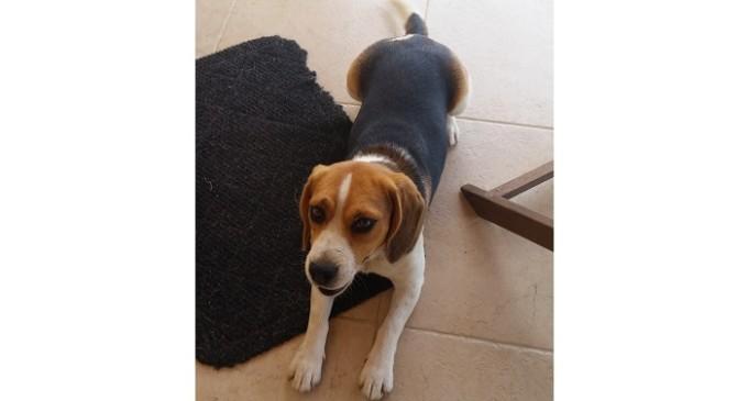Triscina: smarrita una cagnolina di razza beagle