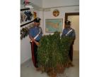 Rinvenimento di piantagione di marijuana a Petrosino