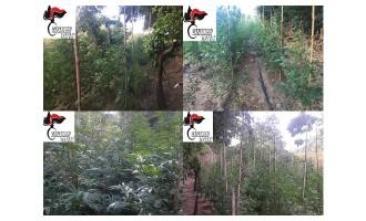 Castelvetrano: dall'inizio dell'estate serie di sequestri di pianta di canapa indiana