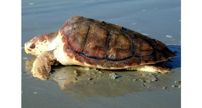 Domani saranno liberate due tartarughe Caretta caretta dal mare di Triscina