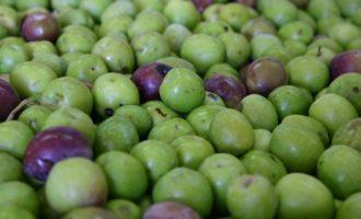 Campobello: sabato convegno sul'olio extravergine e le olive del belice