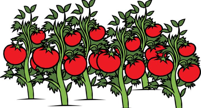 L'insalata per l'estate? Agricoltore inventa i pomodori con marijuana. Arrestato dai carabinieri