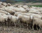 Allevamento di ovini spostato abusivamente da Marsala a Salemi. A scoprirlo è il Corpo forestale