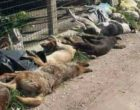 Sciacca, sale a 33 il numero di cani randagi uccisi. Ritrovate altre esche avvelenate