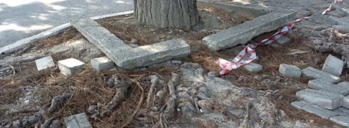 Sdradicamento alberi a Gibellina, il consigliere Balsamo chiede chiarimenti