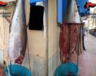 Trapani: sequestrato dai Carabinieri tonno in cattivo stato di conservazione. Due denunce