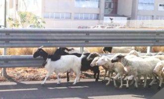 Pecore in autostrada vicino l'uscita di Castelvetrano. Ma il pastore non c'è
