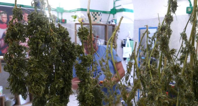 Agricoltura a Pantelleria: dopo la vite ad alberello, arriva la coltivazione di canapa (Foto)