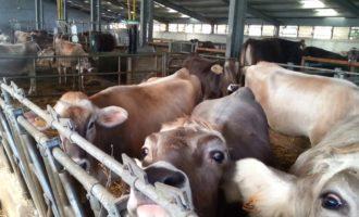 Trattamenti sanitari per il bestiame. Il Comune di Santa Ninfa eroga un finanziamento agli allevatori